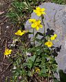 Helianthemum grandiflorum a1.jpg