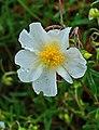 Helianthemum nummularium ssp. obscurum 002.JPG