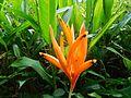 Heliconia psittacorum (Heliconiaceae).jpg