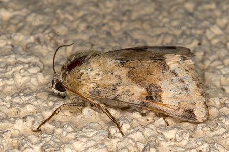 Heliothis viriplaca, Lodz(Poland)04(js).jpg