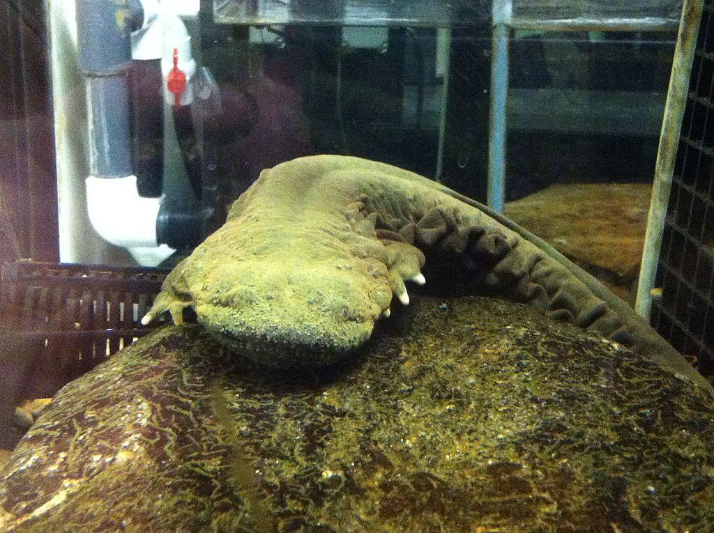 Hellbender Giant Salamander