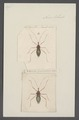 Helonotus - Print - Iconographia Zoologica - Special Collections University of Amsterdam - UBAINV0274 041 05 0012.tif