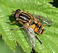 Helophilus pendulus (Common Tiger Hoverfly) - Flickr - S. Rae (6).jpg