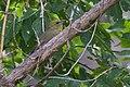 Hepatic Tanager ( female) - Hunter Canyon - Huachuca Mtns - Sierra Vista - AZ - 2015-09-03at10-34-461 (21152179301).jpg