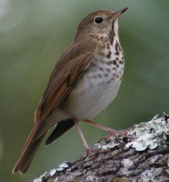 Hermit thrush - Ocala National Forest, Florida 2008