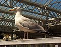 Herring Gull (9580272507).jpg