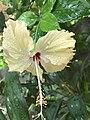 Hibiscus flower with leaves.jpg
