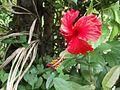 Hibiscus rosa-sinensis - Kerala 1.jpg