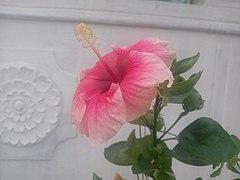 Hibiscus Rosa Sinensis Wikipedia