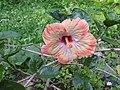 Hibiscus rosa sinensis hybrid-33-hanuman temple-muluvi-yercaud-salem-India.jpg