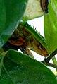 Hiding (Calotes versicolor) Garden Lizard.jpg