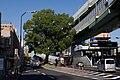 Higashikataha Camphor Tree.jpg