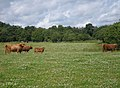 Highland cattle grazing within the Burn of Muchalls watershed - geograph.org.uk - 1404876.jpg