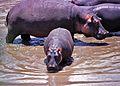 Hippos (Hippopotamus amphibius) (8292162610).jpg