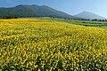 Hiruzen sunflower2019.jpg
