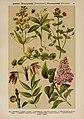 Hoffmann-Dennert botanischer Bilderatlas (Taf. 60) (6425013381).jpg