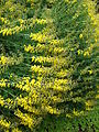 Hohenheim - Cytisus nigricans 01.jpg
