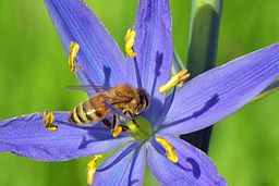 Honey bee on camas