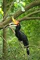 Hornbill 2.jpg
