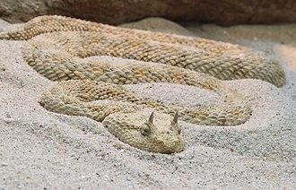 Keeled scales - Image: Hornviper Cerastes cerastes