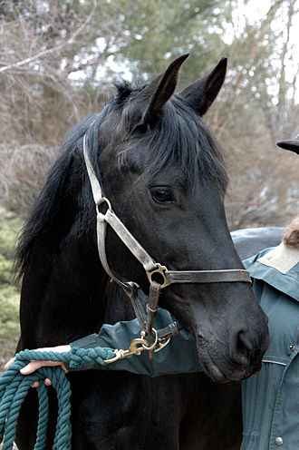 Lead (tack) - Lead clipped to a horse's halter