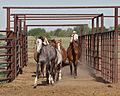 Horses into pen IMG 4973.jpg