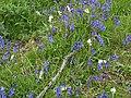 Hyacinthoides non-scripta - geograph.org.uk - 440265.jpg