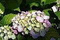 Hydrangea macrophylla Sun Goddess 0zz.jpg