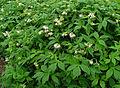 Hydrophyllum virginianum 001.JPG