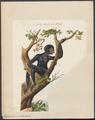 Hylobates syndactylus - 1700-1880 - Print - Iconographia Zoologica - Special Collections University of Amsterdam - UBA01 IZ19800095.tif
