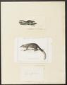 Hylogale javanica - 1700-1880 - Print - Iconographia Zoologica - Special Collections University of Amsterdam - UBA01 IZ20900049.tif