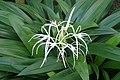 Hymenocallis caribaea kz01.jpg
