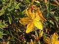 Hypericum maculatum01.jpg
