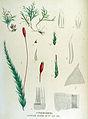 Hypnum myurum — Flora Batava — Volume v15.jpg