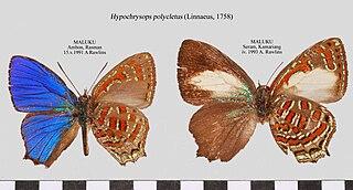 <i>Hypochrysops</i> Butterfly genus in family Lycaenidae