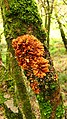 Hypocreopsis rhododendri 2.jpg