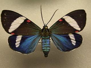 <i>Hypocrita</i> Genus of moths