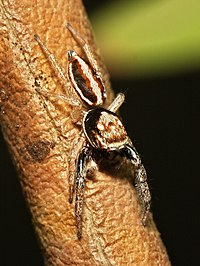 Icius.subinermis.male.1.jpg