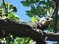Iguane des Petites Antilles.jpg