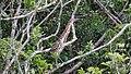 Ilha das Peças 2015 28 Socó-boi.jpg