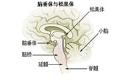 Illu pituitary pineal glands zh.jpg