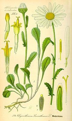 Wiesen-Margerite (Leucanthemum vulgare agg.),  Illustration: (2) zygomorphe Zungenblüte mit drei Kronzipfeln, (3),(4) und (5) radiärsymmetrische Röhrenblüte.