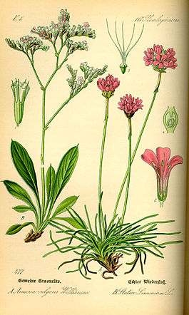 Illustration Limonium vulgare0.jpg
