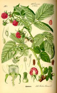 Illustration Rubus idaeus0