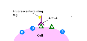 Immunohistochemistry - The direct method of immunohistochemical staining uses one labelled antibody, which binds directly to the antigen being stained for.