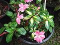 Impatiens linearifolia-HRS-yercaud-salem-India.JPG