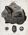 Impression of a stone lily (encrinus) on black schistose sla Wellcome V0023177.jpg