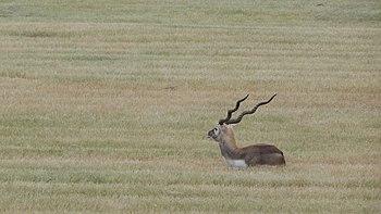 India's Deer.jpg