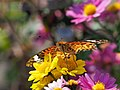 Indian Fritillary Butterfly ツマグロヒョウモン (235996139).jpeg