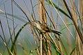 Indian Grassbird Wiki Loves Birds Nepal.jpg